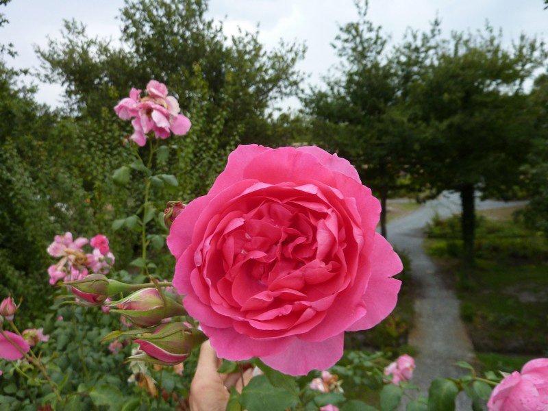 Les roses de la Pépinière Floréale