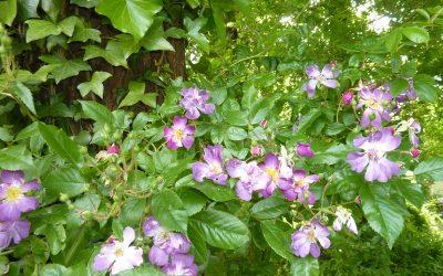 Les vivaces et les arbustes sont la structure du jardin